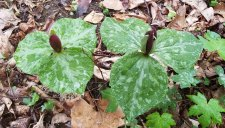 Toadshade; Little Sweet Betsy (Trillium cuneatum)