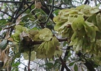 Ulmus rubra, Slippery Elm seed pods