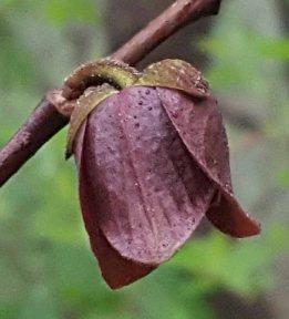 Asimina triloba, Pawpaw,