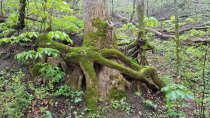Giant Tree Roots