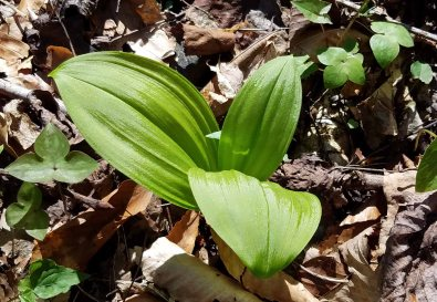 Appalachian Bunchflower (Veratrum parviflorum), of course!