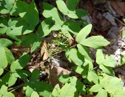 Blue cohosh (Caulophyllum thalictroides) bloom & fruit