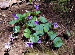 Common Blue Violet (Viola sororia)