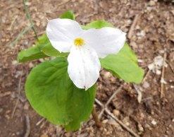 Large-flowered Trillium (Trillium grandiflorum)