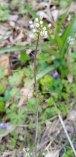 Shepherd's Purse (Capsella bursa-pastoris*)