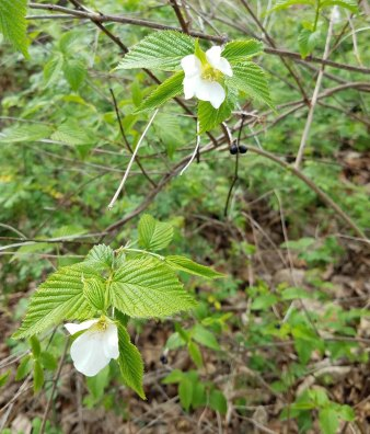 Possibly Jet Bead (Rhodotypos scandens*)