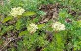 Possibly Black Chokeberry (Aronia melanocarpa)