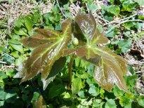 May Apple in bud (Podophyllum peltatum)