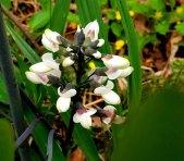 White Wild Indigo (Baptisia alba)