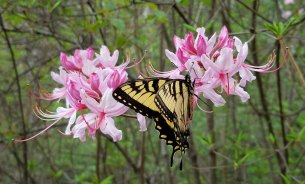 Pinxter Flower (Rhododendron periclymenoides) and friend