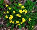 Bunch of Green-and-Gold (Chrysogonum virginianum)