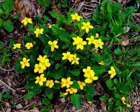 Bunch of Green-and-Gold (Chrysogonum virginianum)