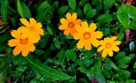 Eared Coreopsis (Coreopsis auriculata)