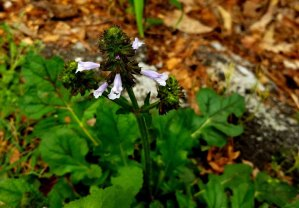 Lyre-leaved Sage (Salvia lyrata)