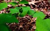 Twinleaf (Jeffersonia diphylla) Seed