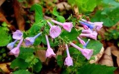 Virginia Bluebell (Mertensia virginica)