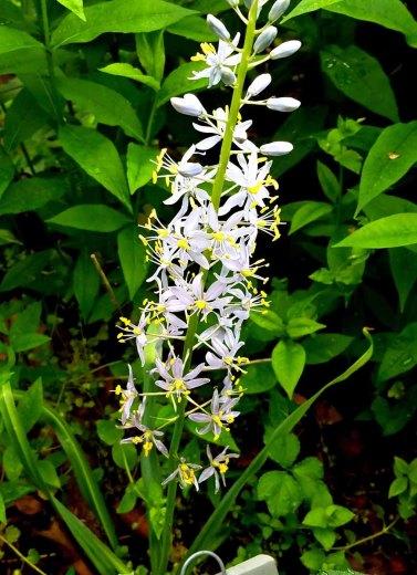 Wild Hyacinth (Camassia scilloides)
