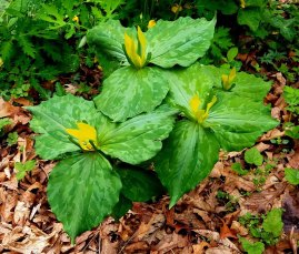Yellow Toadshade (Trillium luteum)