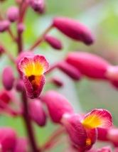 Aesculus pavia (Red Buckeye)