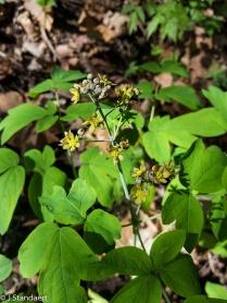 Caulophyllum thalictroides, Blue Cohosh