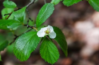 One-flowered Hawthorn (Crataegus uniflora)