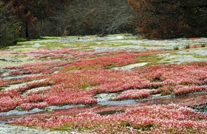 Diamorpha smallii (Elf Orpine)
