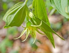 Prosartes lanuginosa, Yellow Mandarin