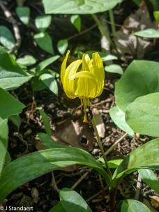 Erythronium umbilicatum, Dimpled Trout-lily