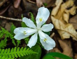 Iris cristata (White Iris)