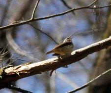Louisiana Waterthrush (Parkesia motacilla)