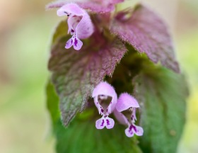 Purple Dead Nettle (Lamium purpureum)