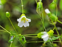 Minuartia glabra (Appalachian Sandwort)