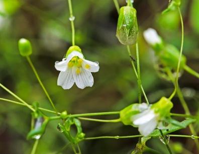 Appalachian Sandwort (Minuartia glabra)