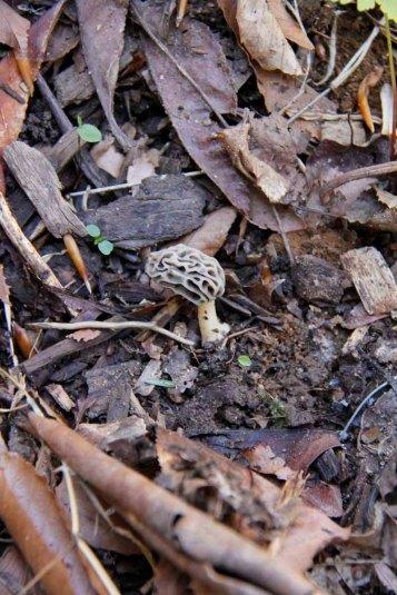 Morel mushroom!