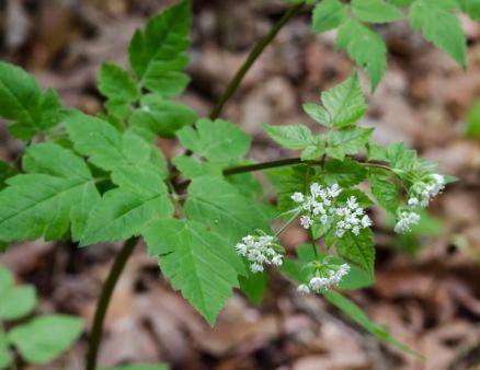Osmorhiza claytonii (Sweet Cicely)