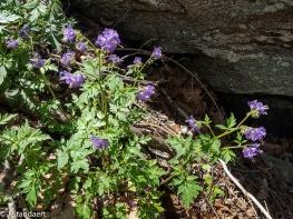 Phacelia bipinnatifida, Fern-leaf Phacelia