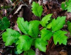 Poison Oak (Toxicodendron pubescens)
