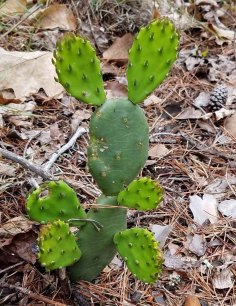 Prickly Pear (Opuntia humifusa) aka Mickey Mouse
