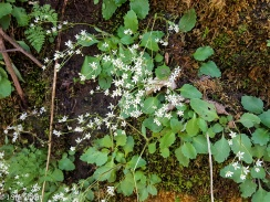 Micranthes virginiensis, Early Saxifrage