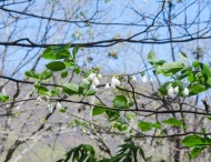 Halesia tetraptera, Silverbell