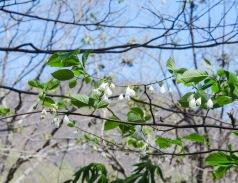 Silverbell (Halesia tetrapter)