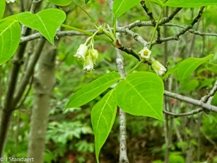 Staphylea trifolia, (American Bladder-nut)