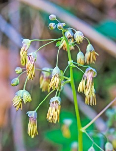 Early Meadow Rue Male Flowers (Thalictrum dioicum)