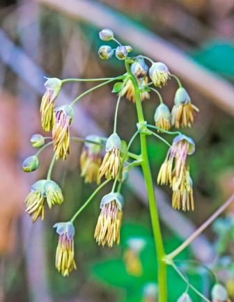 Thalictrum dioicum, Early Meadow Rue male flowers