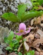 Trillium catesbaei (Catesby Trillium)