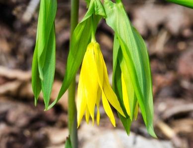 Large-flowered Bellwort (Uvularia grandiflora)