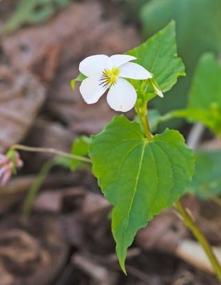 Viola canadensis, Canada Violet