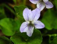 Viola conspersa (Dog Violet)201704211156