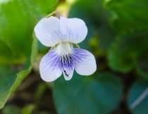 Confederate Violet (Viola sororia var. sororia)
