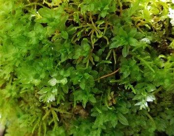 Male Plant on Mnium hornum (Horn calcareous moss )